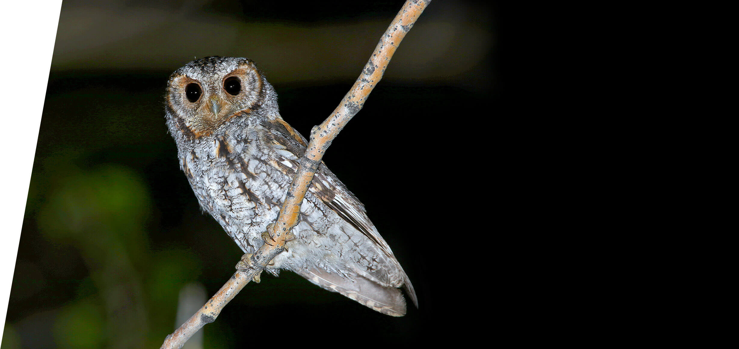 Utah Flammulated Owl Tours Mountain West Birding Company